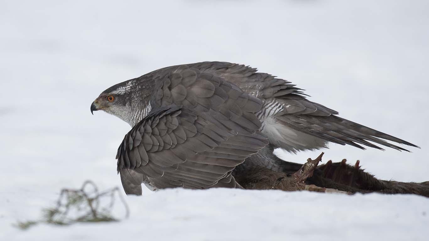 Bilder på rovfåglar Duvhök