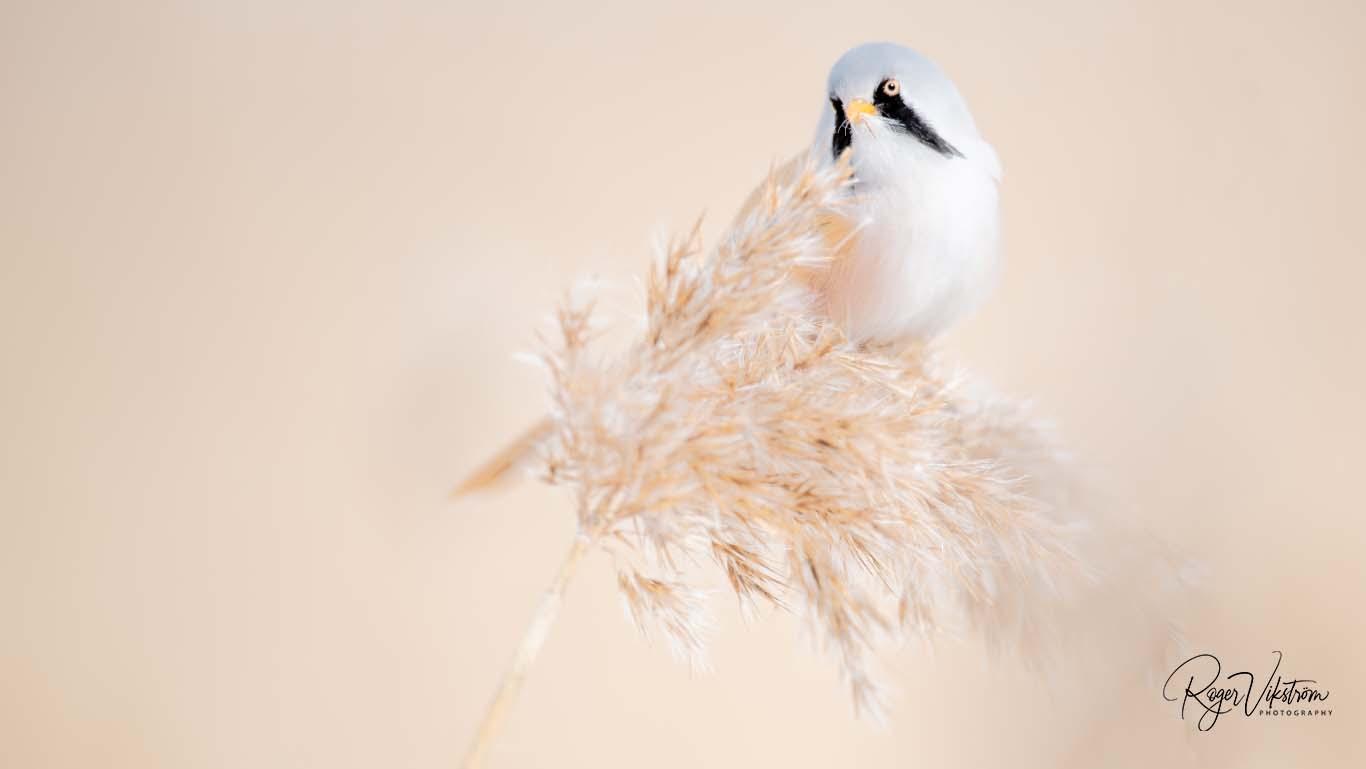 Med naturen i fokus, skäggmes © Foto Roger Vikström