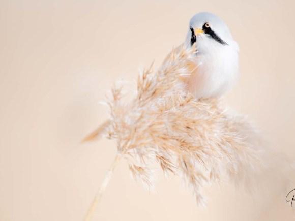 Med naturen i fokus, skäggmes