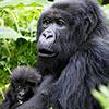 Gorille Rwanda kenya guide