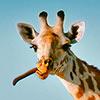 Girafe kenya guide