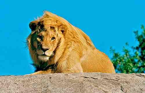 Lion sur un rocher dans le Serengeti - Nos safaris en Tanzanie