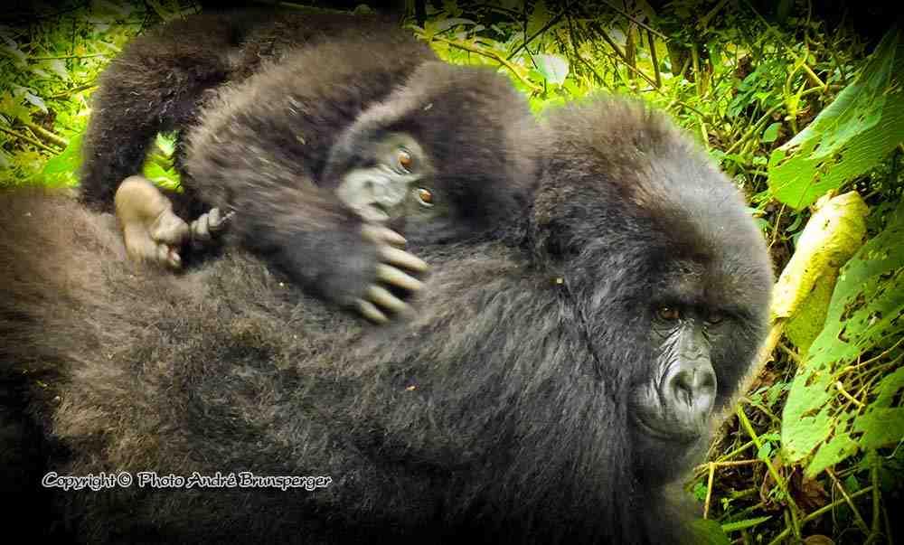 Gorilles de montagnes - circuit safari 8 jours rwanda