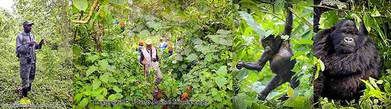 Parc des volcans - Circuit safari 8 jours Ouganda Rwanda