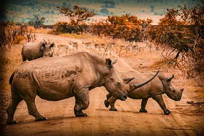 Rhinocéros et antilopes en Safari combiné Ouganda / Rwanda 8 jours / 7 nuits
