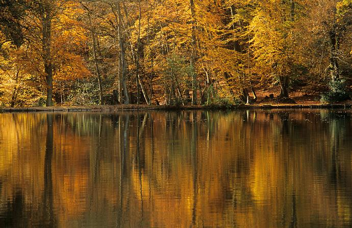 Surrey WoodsAutumn Golden Pond Waggoners Wells Near