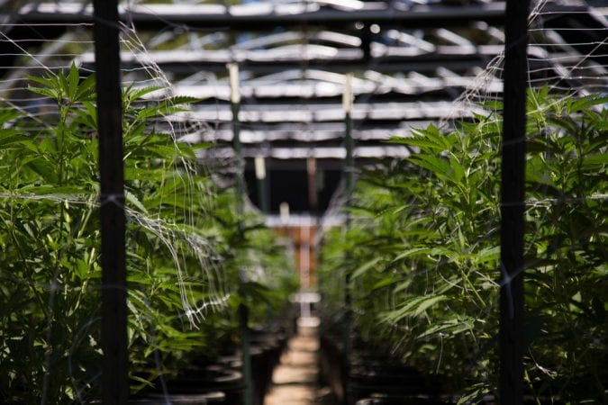 Close up of Cannabis in Greenhouse