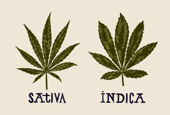 Textbook style indica and sativa leaves compared side by side