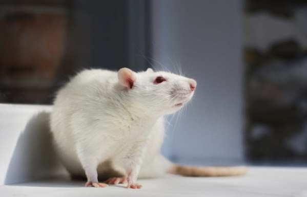 albino lab rat