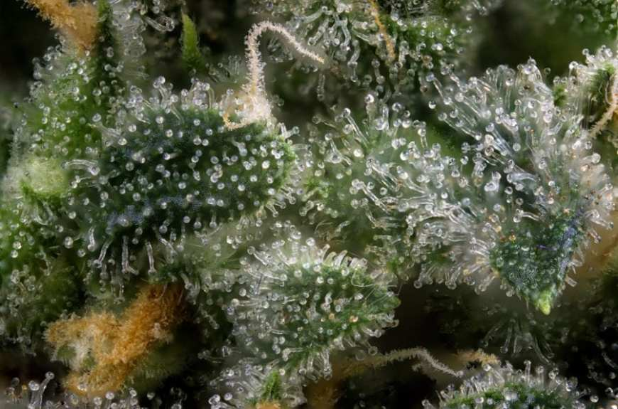 close up of trichomes on a cannabis plant humulene