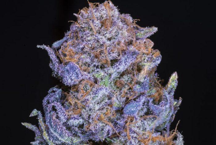 close up of purple bud