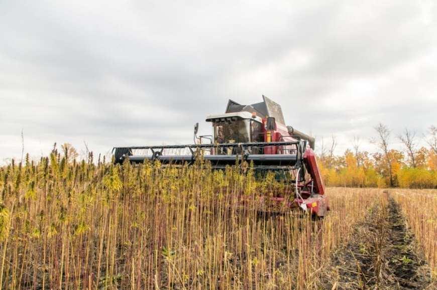 Combine harvest hemp