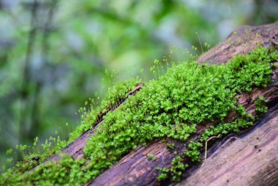 cannabis, bryophyte, medical cannabis, recreational cannabis, cannabinoids, THC, PET, pain, disease, liverwort, moss