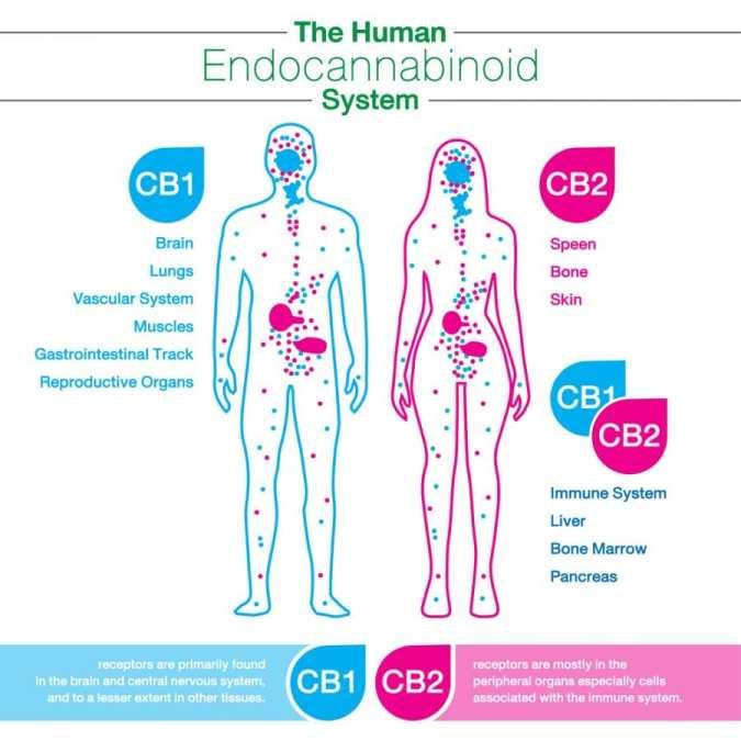 cannabis, medical cannabis, recreational cannabis, legalization, cannabinoids, endocannabinoid system, Dr Bob, Canada, USA, CB receptors