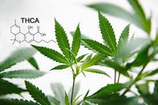 cannabis, raw cannabis, medical cannabis, recreational cannabis, legalization, health benefits, nutrients, fatty acids, THCa, juice