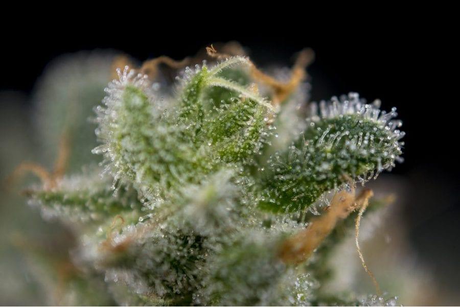 strains, cannabis, medical cannabis, cannabis strains, recreational cannabis, CBD, THC, cannabinoids, terpenes, pain, pain relief, pain management