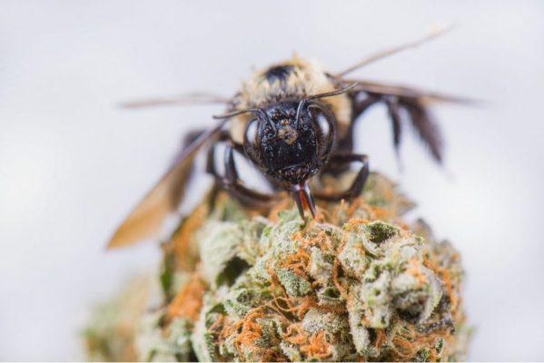 hemp, honey bees, pollination, resin, hemp flower, pollinator