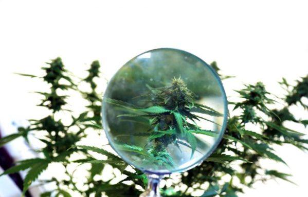 cannabis, landrace, strains, landrace strains, medical cannabis, benefits, qualities, recreational cannabis, genetics, crossbreeding
