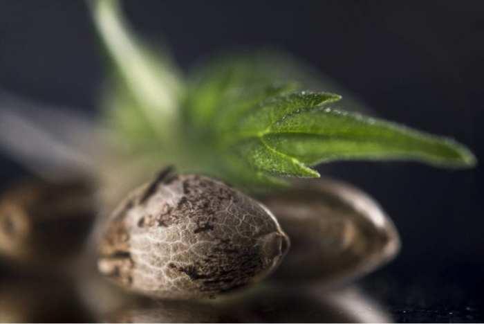 cannabis, autoflower, autoflower seeds, feminized seeds, cannabis seeds, cannabis sprout, sprouts, cultivators, home grow