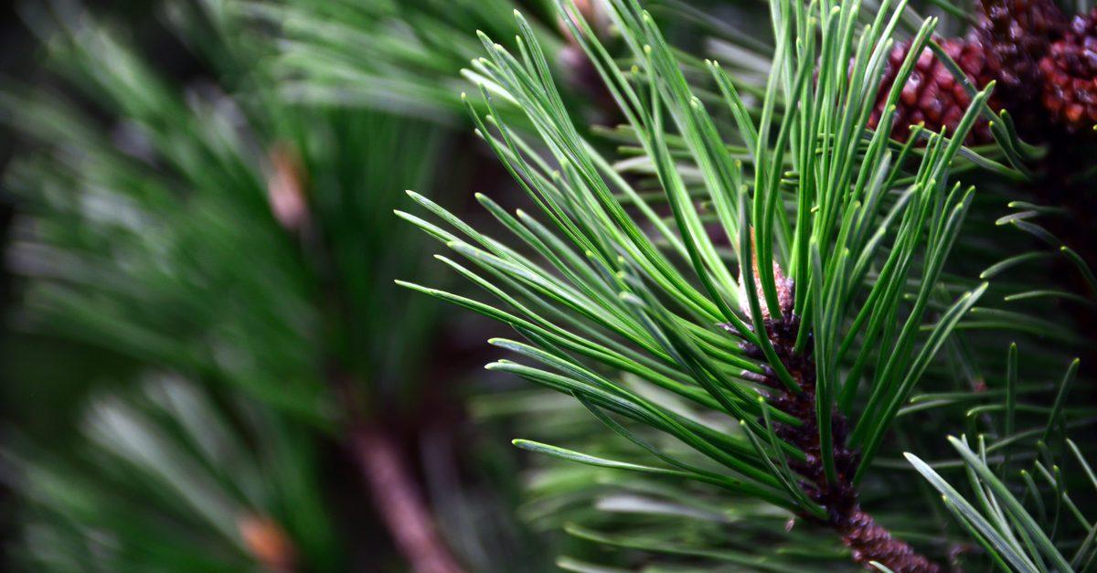 Pine Needs Close up