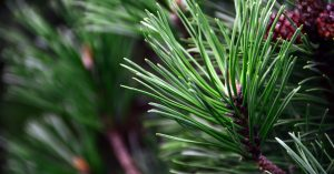 Pine Needs Close up