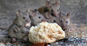 potent edibles being enjoyed by mice