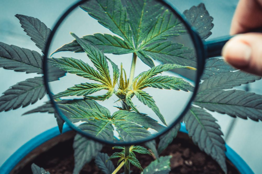 magnifying glass on cannabis plant