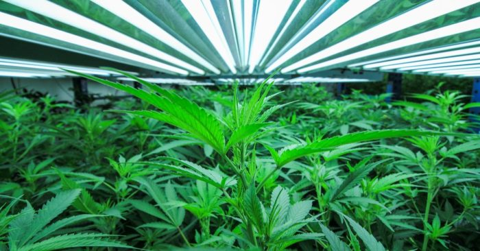 Ukraine Scandal Cannabis grow