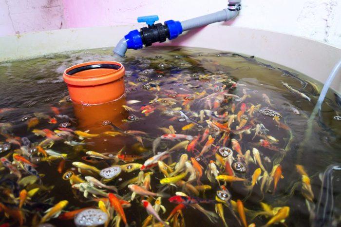 aquaponics fish in their tank