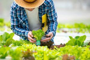 aquaponics farmer picking up a plant
