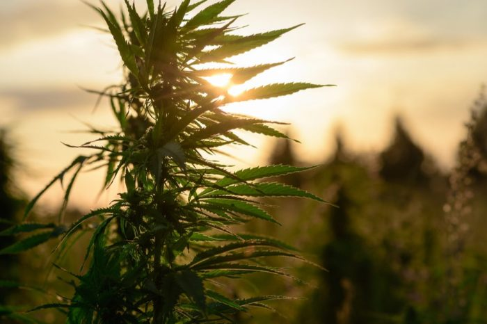 effects of climate change represented by sunset behind cannabis plant