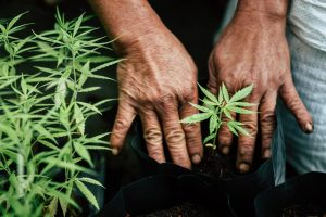 industrial hemp grower fondly tucking plant into the soil