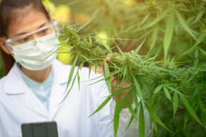 CANNABIS RESEARCH IN AMERICA underway as young female researcher looks at cannabis plant