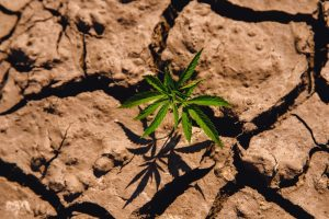 dry farming underway shown by cracked soil around cannabis plant