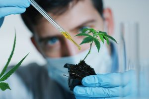 cannabis root medicine represented by doctor putting substance on roots