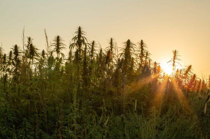 hemp versus cotton depicted as hemp grows in front of sunset