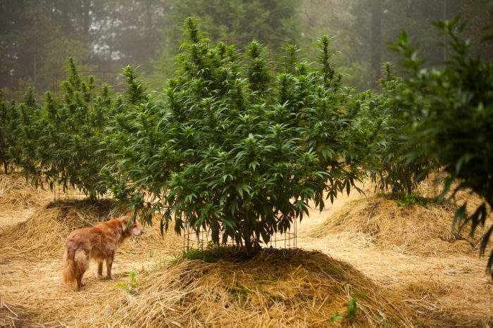 what happens if my dog eats weed represented by dogs under cannabis bush
