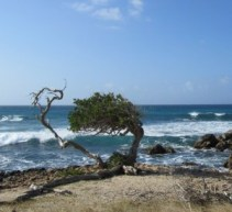 Divi-Divi tree Aruba.  Click image to enlarge.
