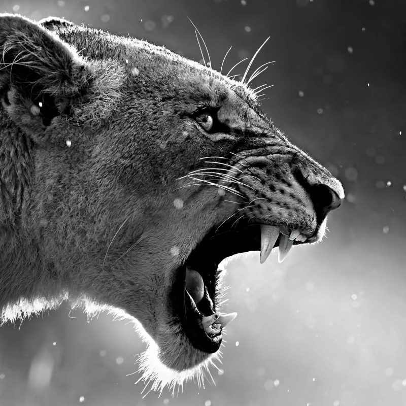 Angry Lion Wallpaper Black And White Reviewwalls Co