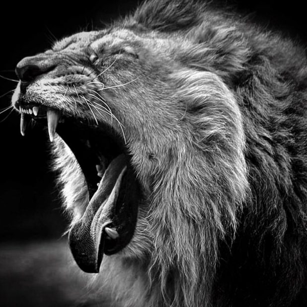 Angry Lion Wallpaper Hd Black And White Vinny Oleo Vegetal Info