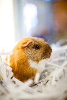 KHS Guinea Pig