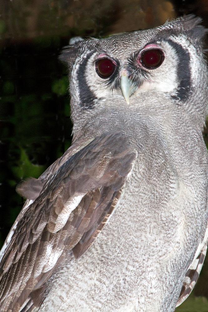 Photos Of Strigiformes Owls