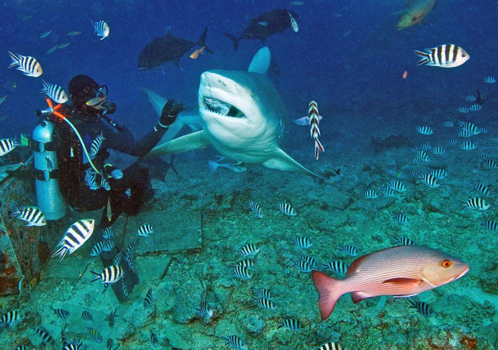 Image result for bull sharks fiji