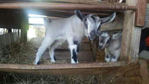 Just a few of the goat kids we have hanging around the farm.