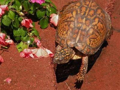 box-turtle-178631_640