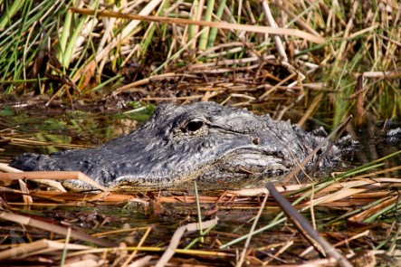 Gator in the glades