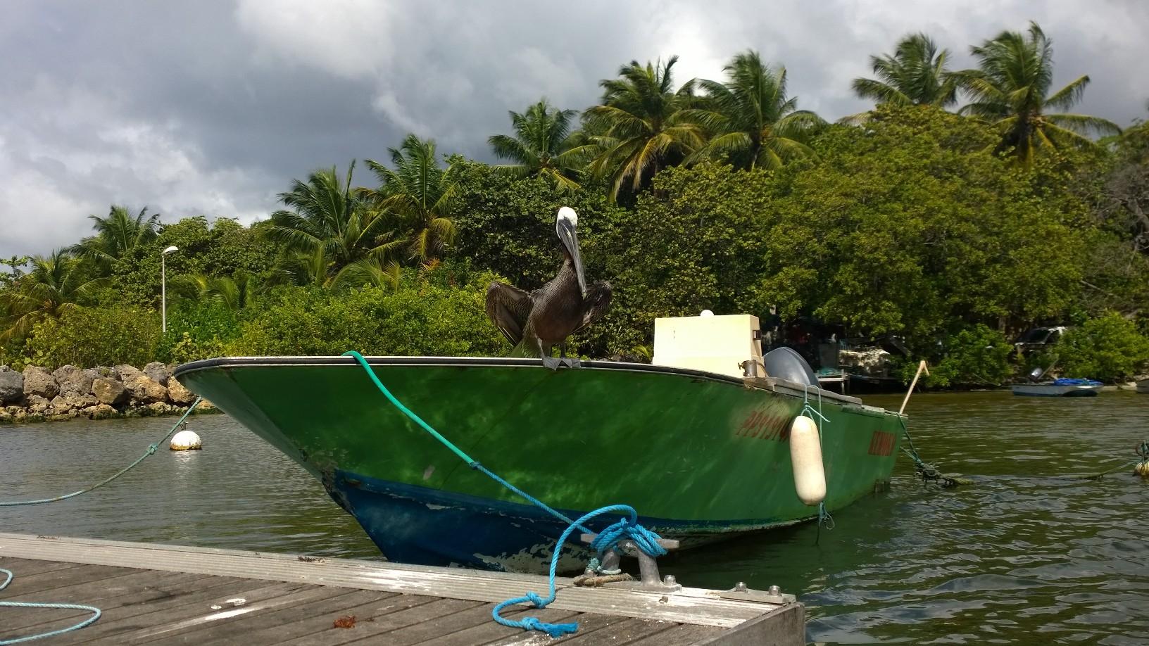 Pelikaani vartioi viereisestä veneestä laituriin kiinnittymistä.