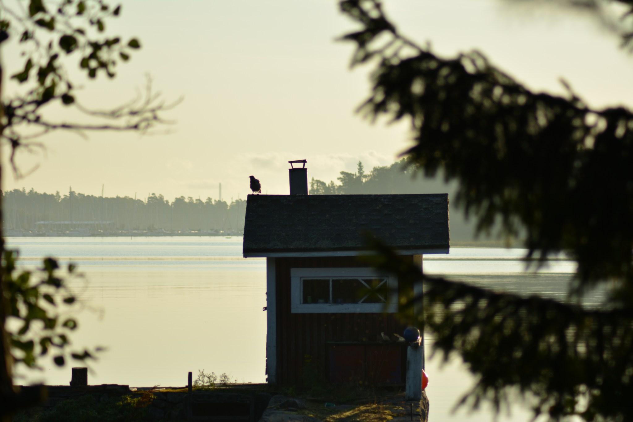 Varis aamuauringossa saunan katolla. Hetken kuluttua pikkukoira juoksi saunalle ajamaan variksen matkoihinsa ja olisin saanut loistavan tilannekuvan, mutta en löytänyt laukaisin-nappia!