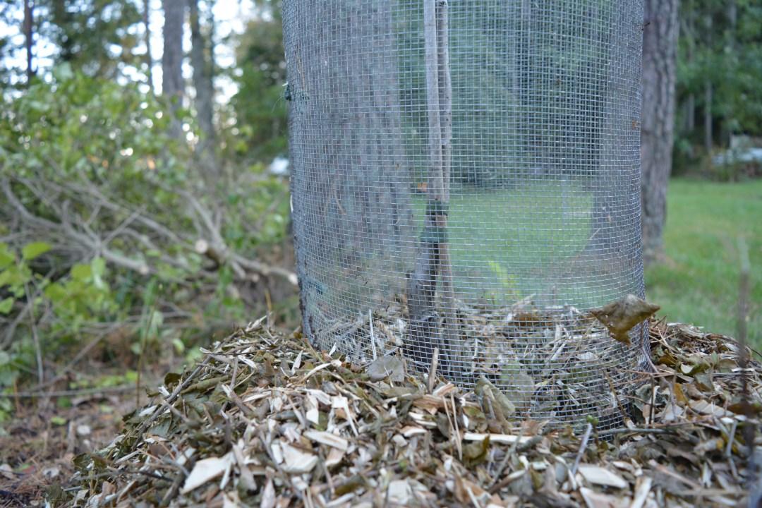Meillä on paljon myyriä ja tontilla olleet omenapuut on myyrä syönyt aina pois. Laitoin istutuksen yhteydessä juuripaakun ympärille myyräverkon noin 30 sentin syvyyteen.