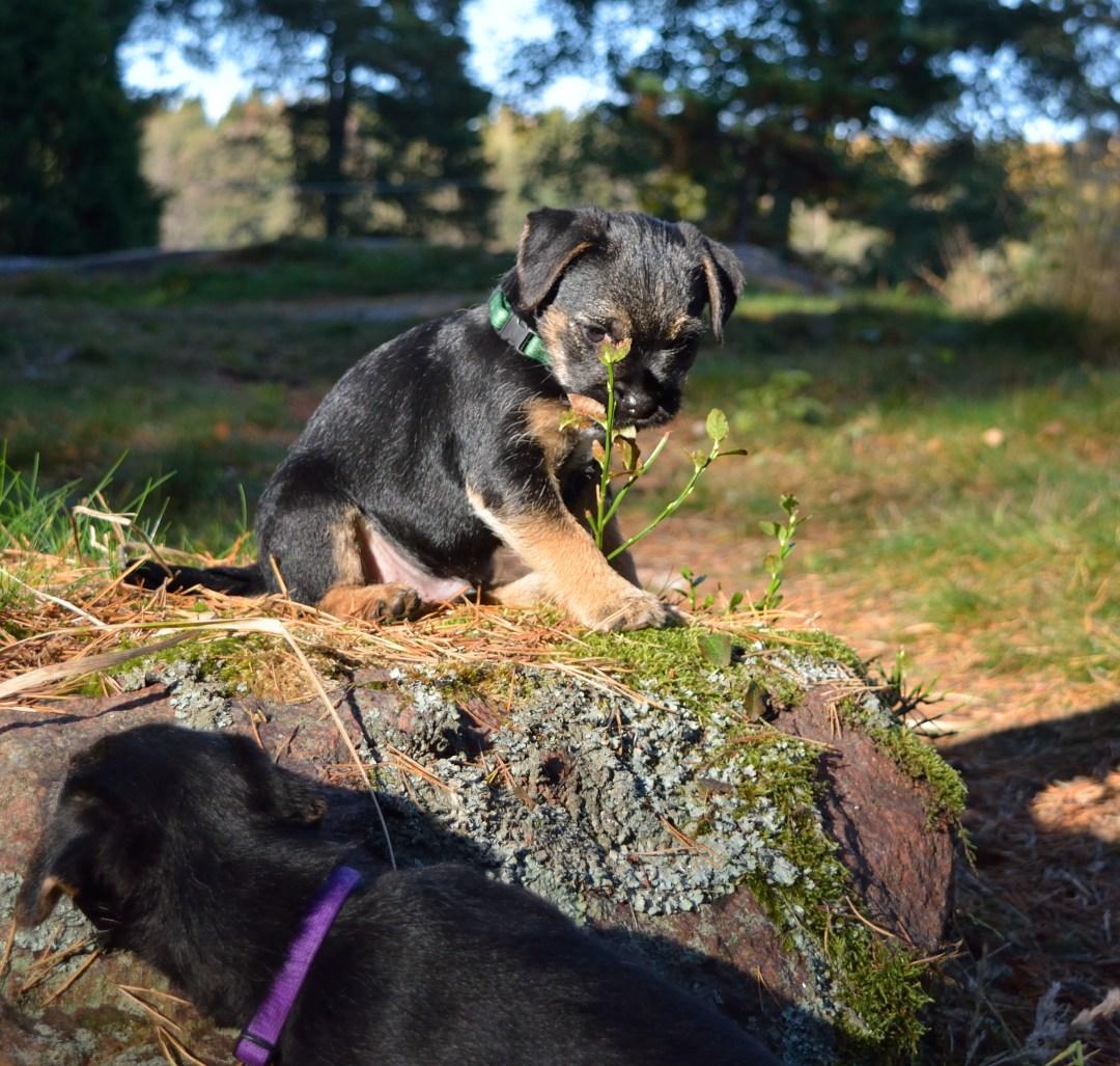 Veli syö mustikanvarpuja ja Sompa harkitsee kiipeilyä.